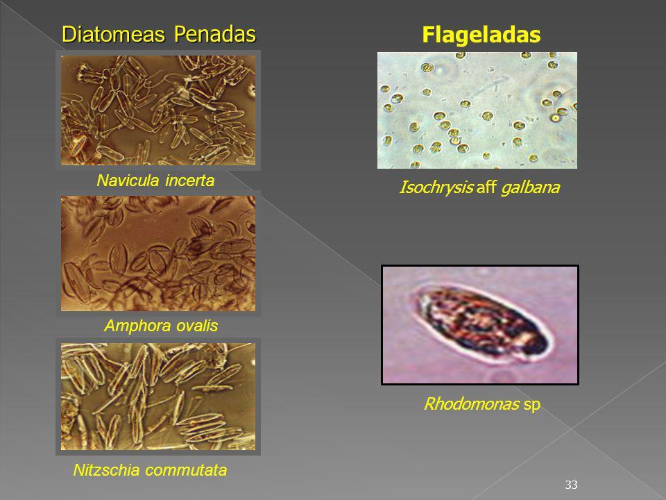 Diatomeas Penadas Flageladas Navicula incerta Isochrysis aff galbana