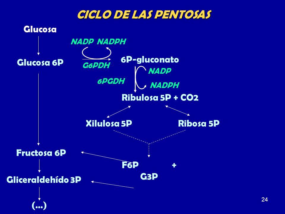 CICLO DE LAS PENTOSAS Glucosa 6P-gluconato Glucosa 6P