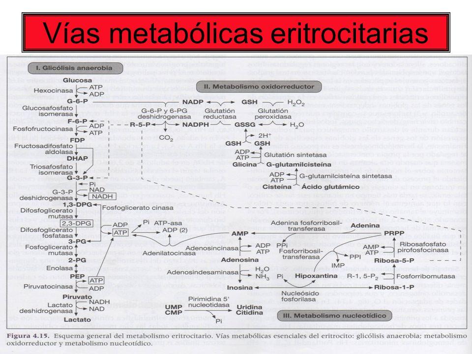 Vías metabólicas eritrocitarias