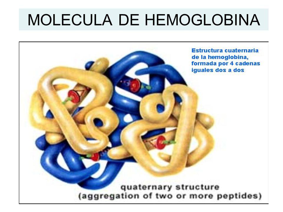 MOLECULA DE HEMOGLOBINA
