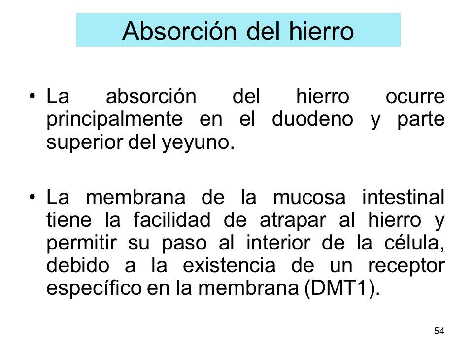 Absorción del hierro La absorción del hierro ocurre principalmente en el duodeno y parte superior del yeyuno.