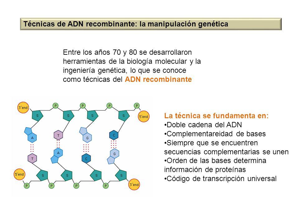 Técnicas de ADN recombinante: la manipulación genética