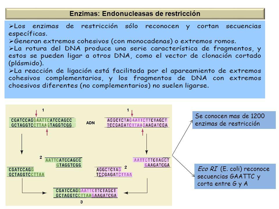 Enzimas: Endonucleasas de restricción