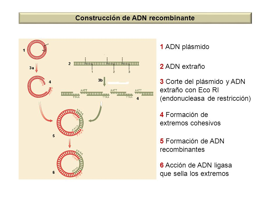 Construcción de ADN recombinante
