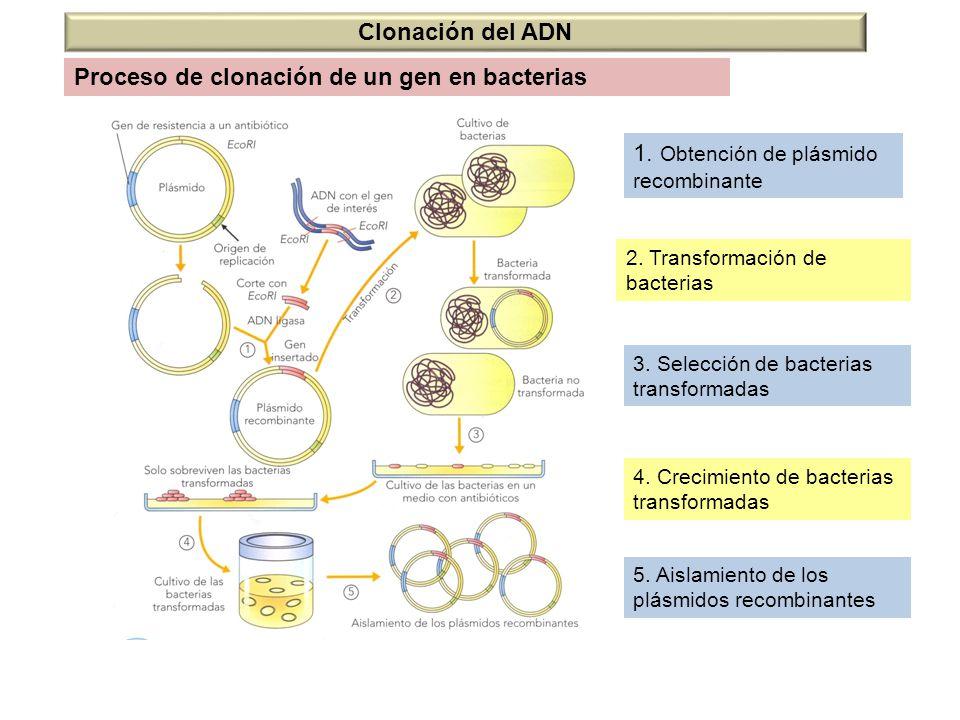 Proceso de clonación de un gen en bacterias