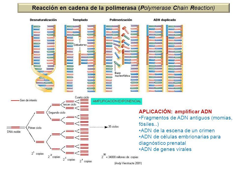 Reacción en cadena de la polimerasa (Polymerase Chain Reaction)