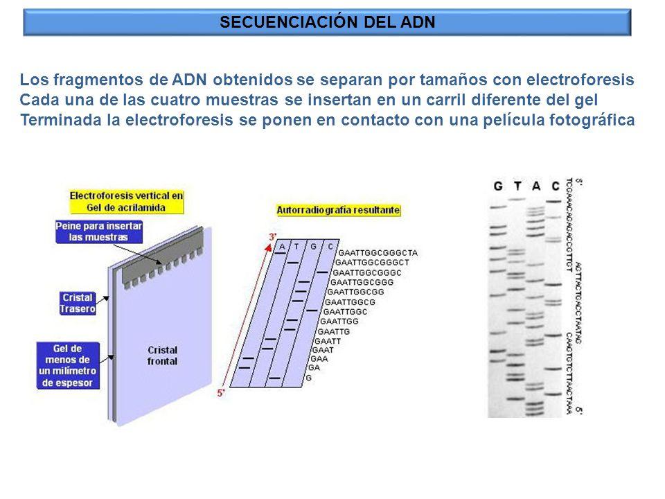 SECUENCIACIÓN DEL ADN Los fragmentos de ADN obtenidos se separan por tamaños con electroforesis.