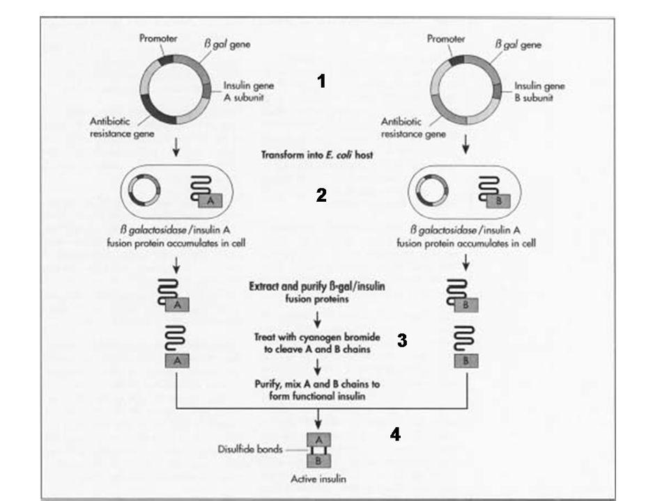 1: ADN sintético que codifica para la cadena A de la insulina humana, se inserta en un plásmido bacteriano.