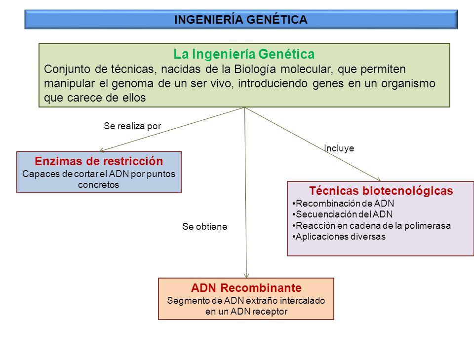 La Ingeniería Genética Enzimas de restricción Técnicas biotecnológicas