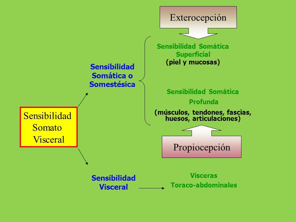 Clasificación de Head Tacto Epicrítico Tacto Protopático