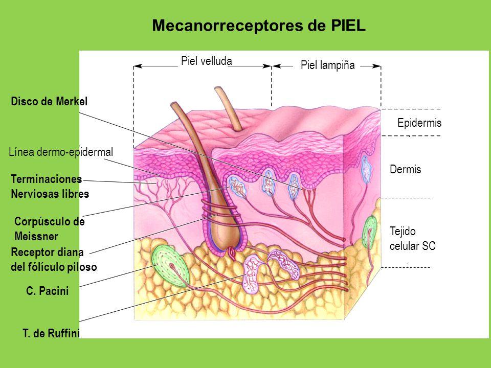 Mecanoreceptor Ubicación Función Adaptación