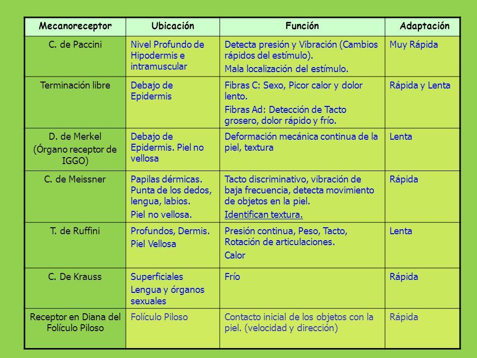 Propioceptores Husos Musculares, Órgano tendinoso de Golgi, T de Ruffini y C. de Paccini