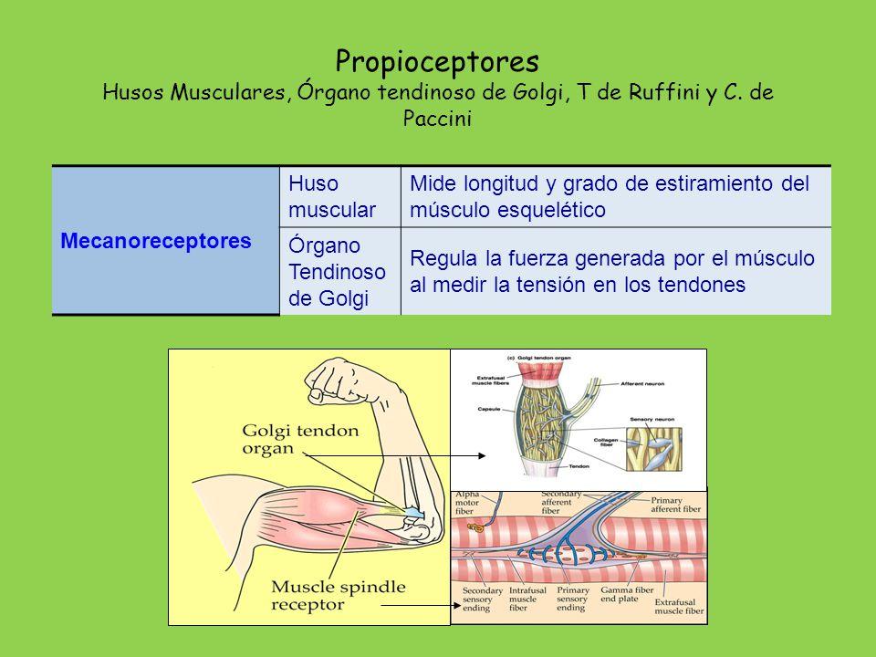 Termorreceptores De Frío y de calor: receptores de frío y calor. Nociceptores. Del dolor y temperatura extremos: