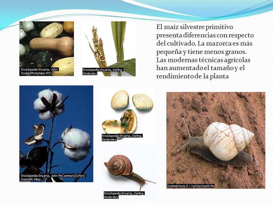 El maíz silvestre primitivo presenta diferencias con respecto del cultivado.