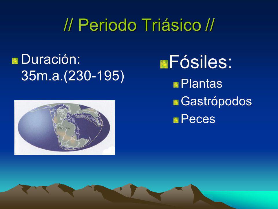 Fósiles: // Periodo Triásico // Duración: 35m.a.(230-195) Plantas