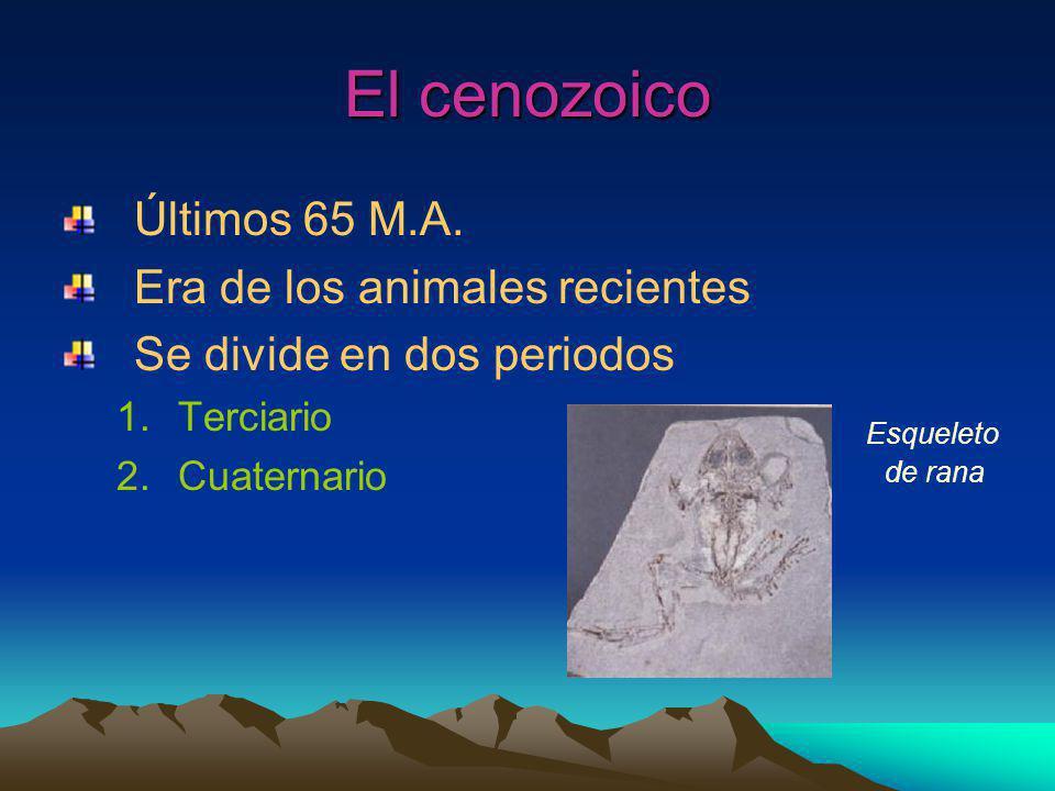 El cenozoico Últimos 65 M.A. Era de los animales recientes