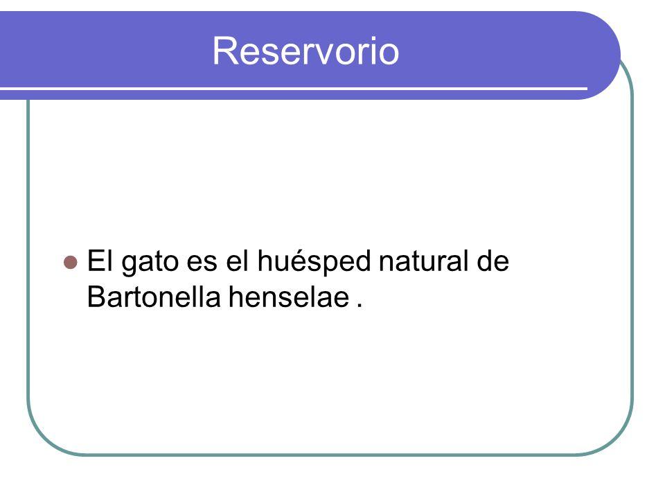 Reservorio El gato es el huésped natural de Bartonella henselae .