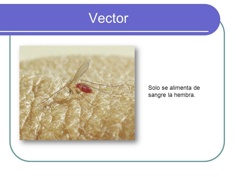 Vector Solo se alimenta de sangre la hembra.