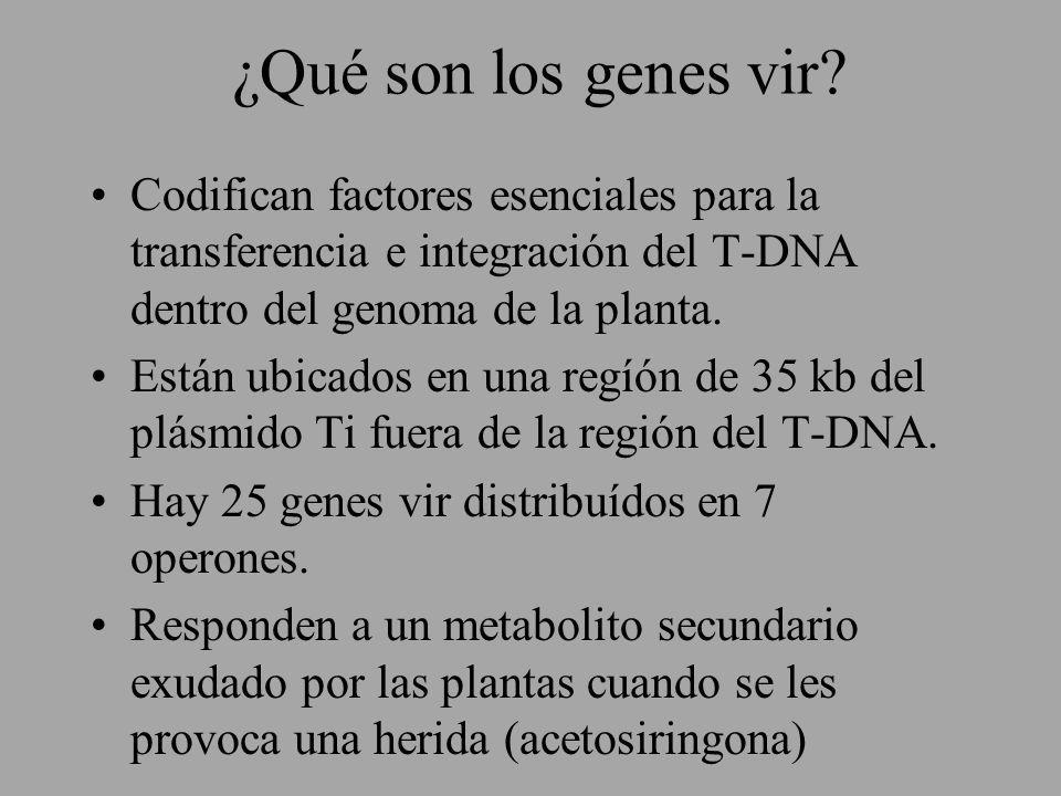 ¿Qué son los genes vir Codifican factores esenciales para la transferencia e integración del T-DNA dentro del genoma de la planta.