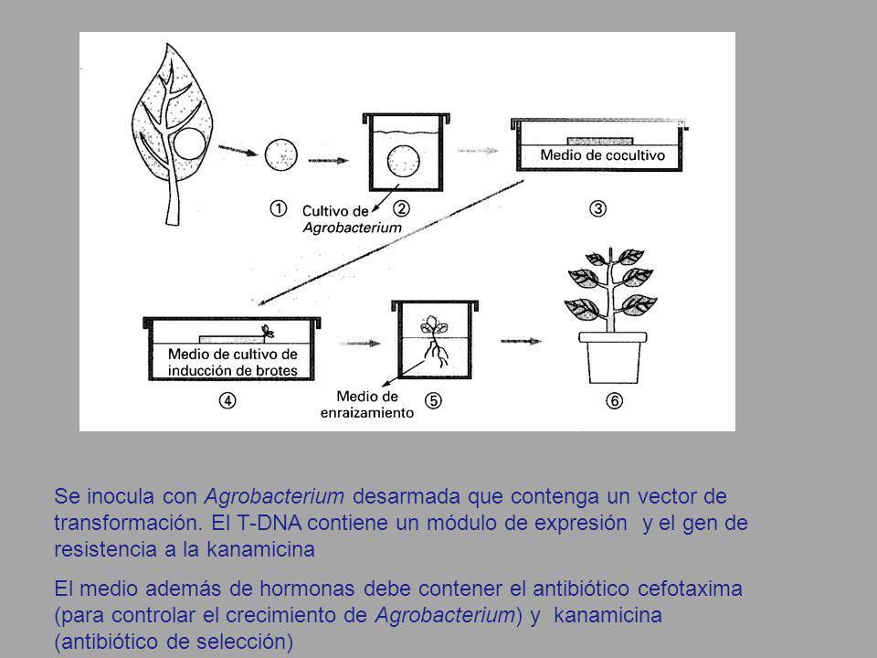 Se inocula con Agrobacterium desarmada que contenga un vector de transformación. El T-DNA contiene un módulo de expresión y el gen de resistencia a la kanamicina