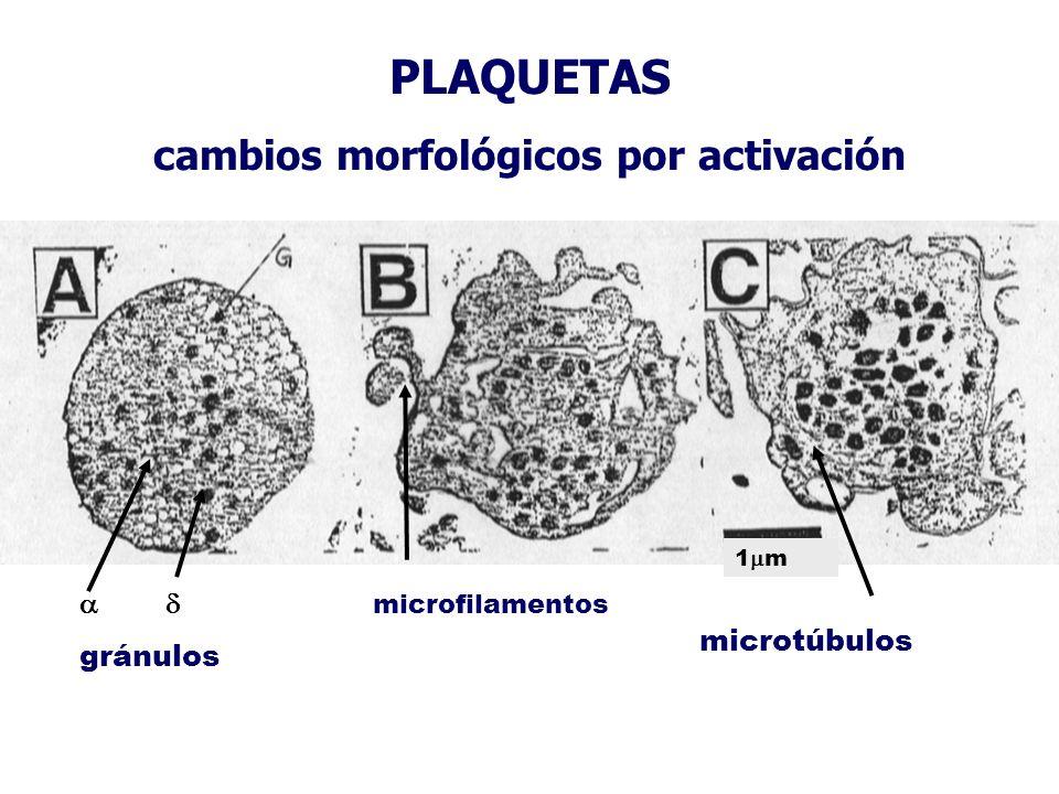 cambios morfológicos por activación