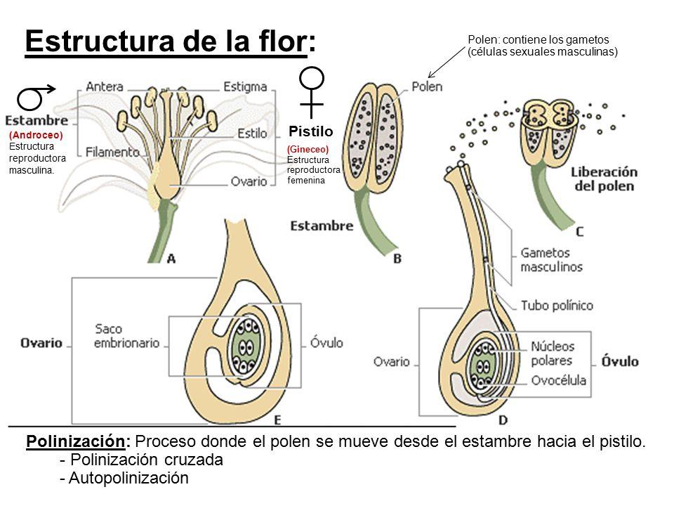 Estructura de la flor: Polen: contiene los gametos (células sexuales masculinas) Pistilo. (Androceo) Estructura reproductora masculina.