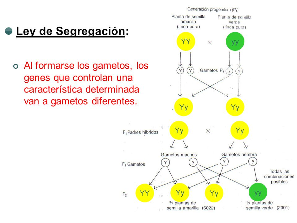 Ley de Segregación: YY. yy. Al formarse los gametos, los genes que controlan una característica determinada van a gametos diferentes.