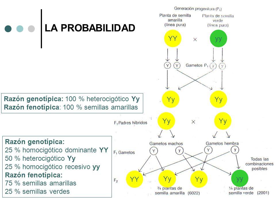 LA PROBABILIDAD YY yy Yy Yy Razón genotípica: 100 % heterocigótico Yy