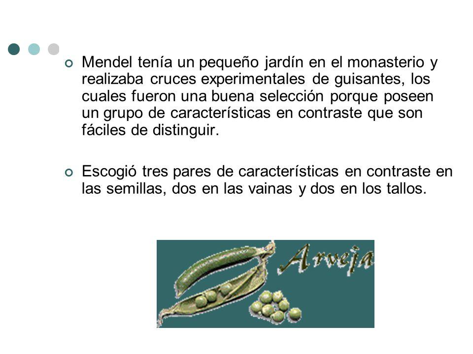 Mendel tenía un pequeño jardín en el monasterio y realizaba cruces experimentales de guisantes, los cuales fueron una buena selección porque poseen un grupo de características en contraste que son fáciles de distinguir.