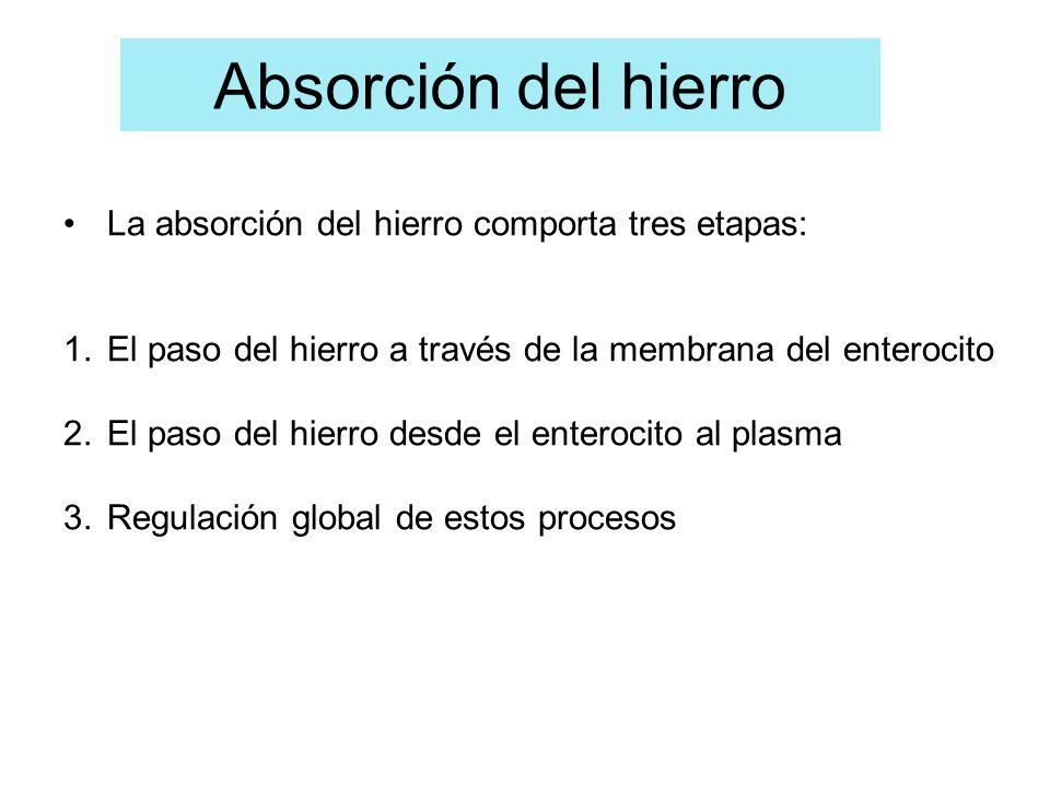 Absorción del hierro La absorción del hierro comporta tres etapas: