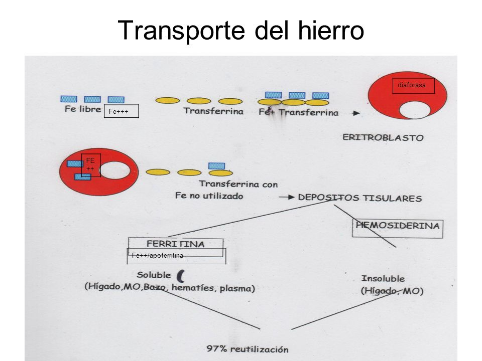 Transporte del hierro diaforasa Fe+++ FE++ Fe++/apoferritina