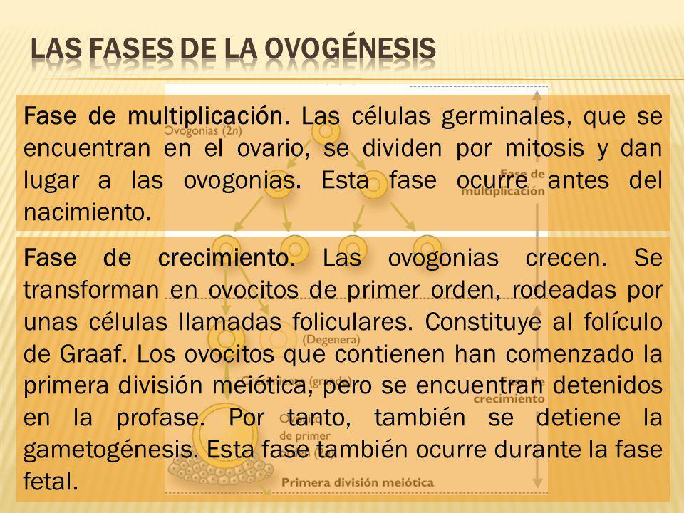 Las fases de la ovogénesis