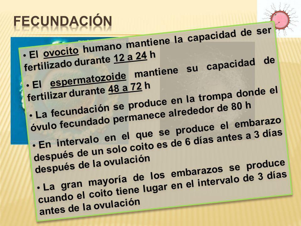 Fecundación El ovocito humano mantiene la capacidad de ser fertilizado durante 12 a 24 h.