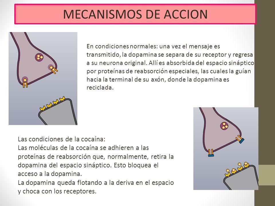 MECANISMOS DE ACCION Las condiciones de la cocaína:
