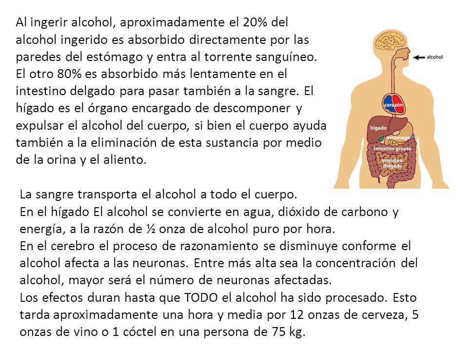 Al ingerir alcohol, aproximadamente el 20% del alcohol ingerido es absorbido directamente por las paredes del estómago y entra al torrente sanguíneo. El otro 80% es absorbido más lentamente en el intestino delgado para pasar también a la sangre. El hígado es el órgano encargado de descomponer y expulsar el alcohol del cuerpo, si bien el cuerpo ayuda también a la eliminación de esta sustancia por medio de la orina y el aliento.