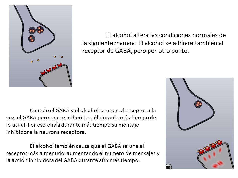 El alcohol altera las condiciones normales de la siguiente manera: El alcohol se adhiere también al receptor de GABA, pero por otro punto.