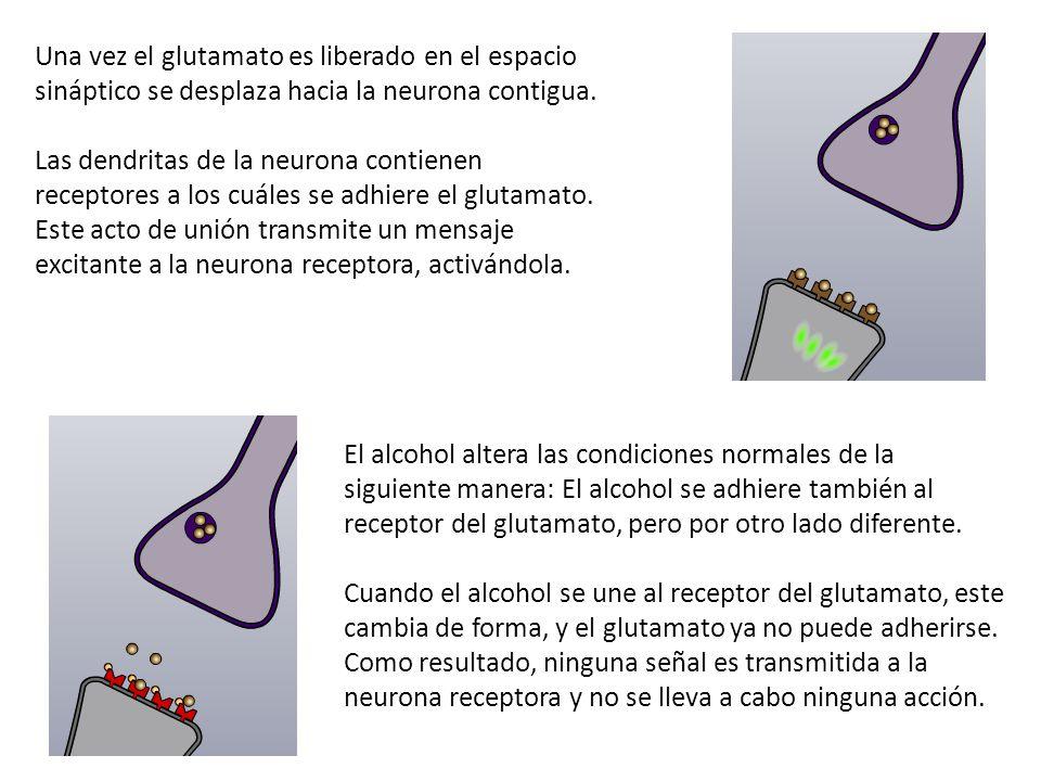 Una vez el glutamato es liberado en el espacio sináptico se desplaza hacia la neurona contigua.
