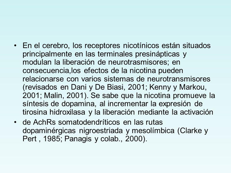 En el cerebro, los receptores nicotínicos están situados principalmente en las terminales presinápticas y modulan la liberación de neurotrasmisores; en consecuencia,los efectos de la nicotina pueden relacionarse con varios sistemas de neurotransmisores (revisados en Dani y De Biasi, 2001; Kenny y Markou, 2001; Malin, 2001). Se sabe que la nicotina promueve la síntesis de dopamina, al incrementar la expresión de tirosina hidroxilasa y la liberación mediante la activación