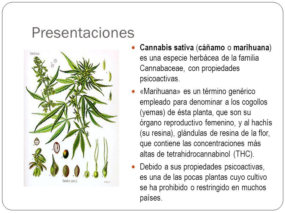 Presentaciones Cannabis sativa (cáñamo o marihuana) es una especie herbácea de la familia Cannabaceae, con propiedades psicoactivas.