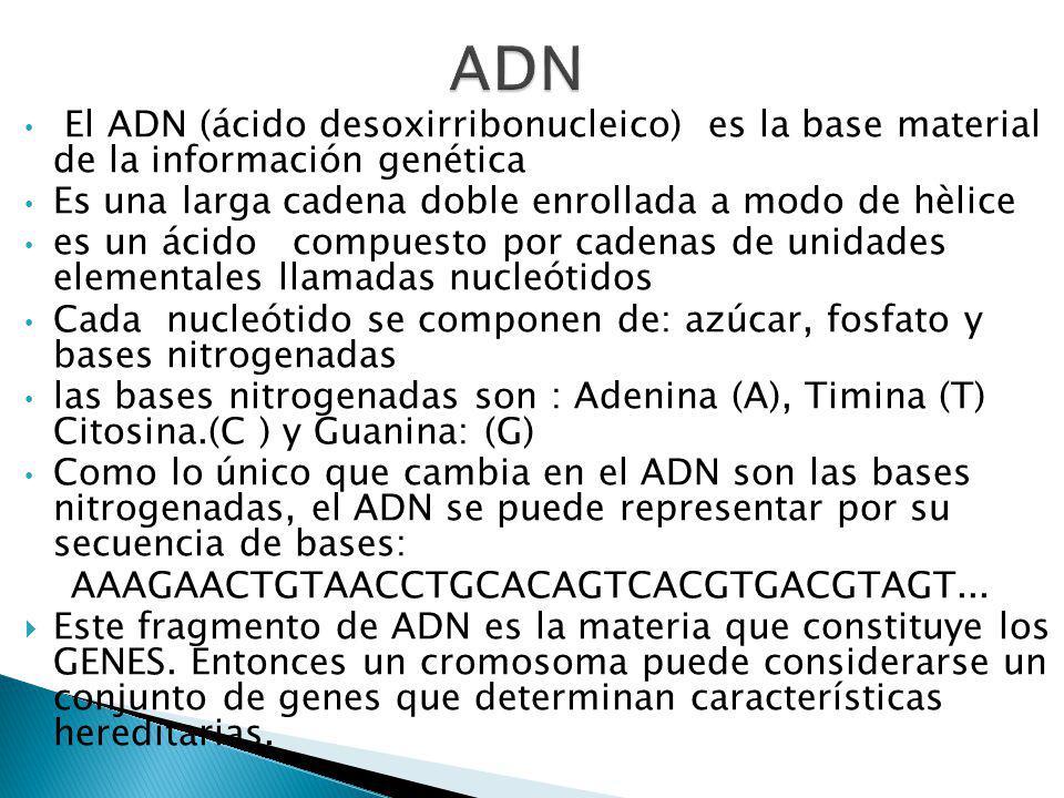 ADN El ADN (ácido desoxirribonucleico) es la base material de la información genética. Es una larga cadena doble enrollada a modo de hèlice.