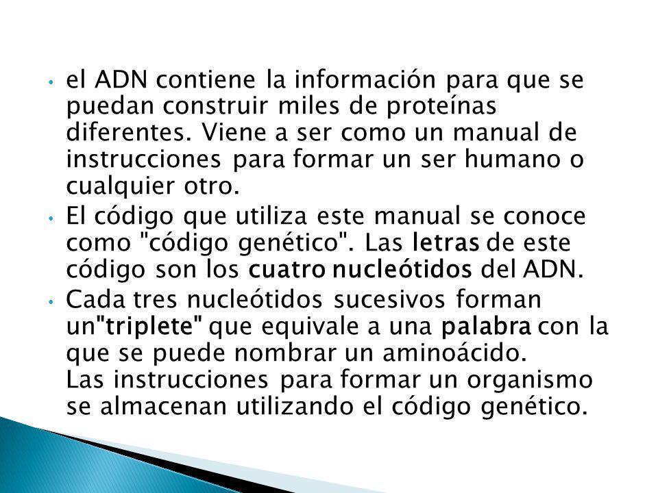 el ADN contiene la información para que se puedan construir miles de proteínas diferentes. Viene a ser como un manual de instrucciones para formar un ser humano o cualquier otro.