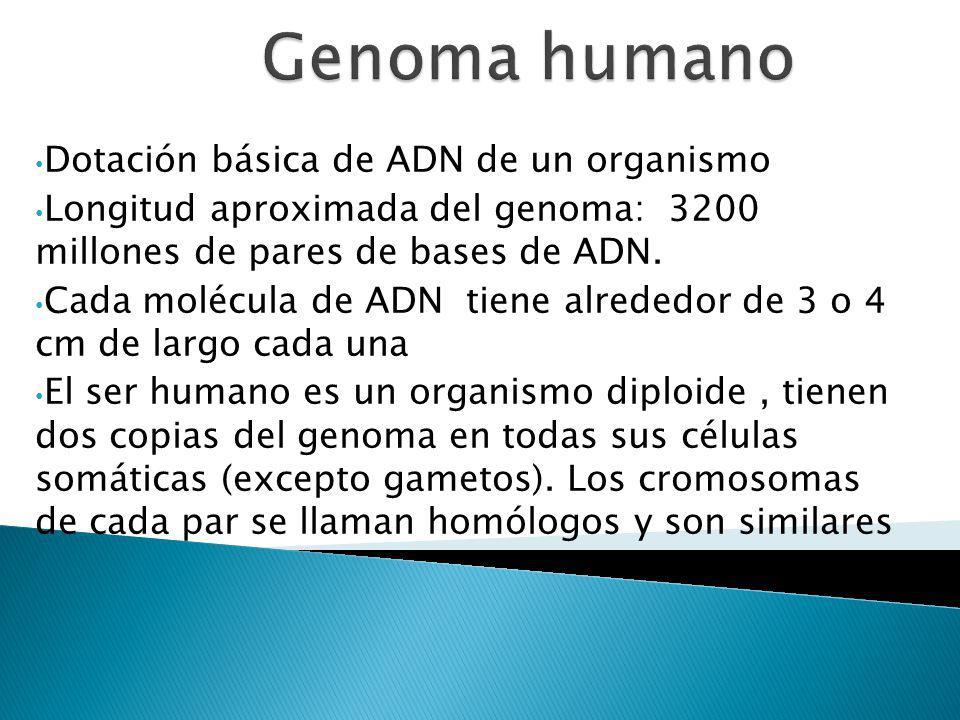 Genoma humano Dotación básica de ADN de un organismo