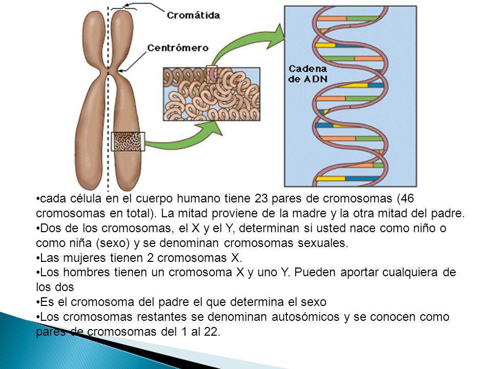 cada célula en el cuerpo humano tiene 23 pares de cromosomas (46 cromosomas en total). La mitad proviene de la madre y la otra mitad del padre.
