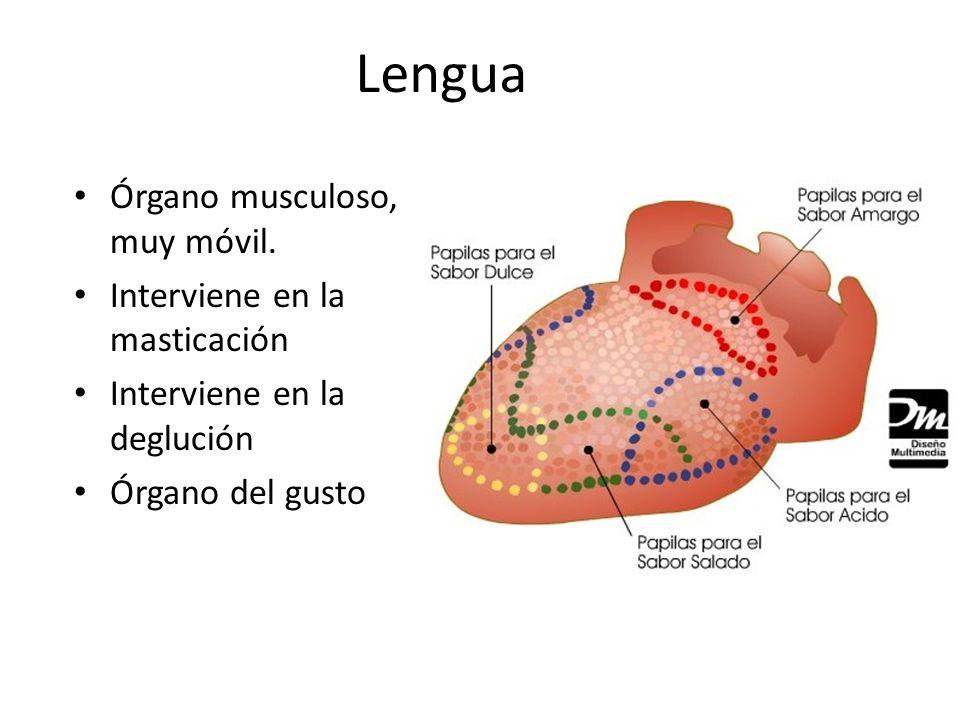 Lengua Órgano musculoso, muy móvil. Interviene en la masticación