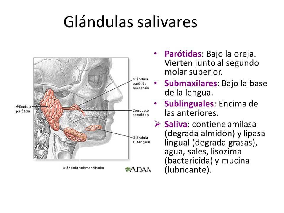 Glándulas salivares Parótidas: Bajo la oreja. Vierten junto al segundo molar superior. Submaxilares: Bajo la base de la lengua.