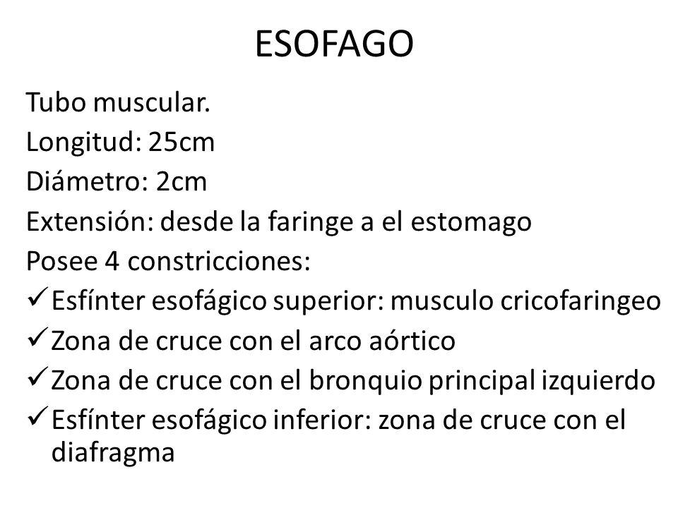 ESOFAGO Tubo muscular. Longitud: 25cm Diámetro: 2cm