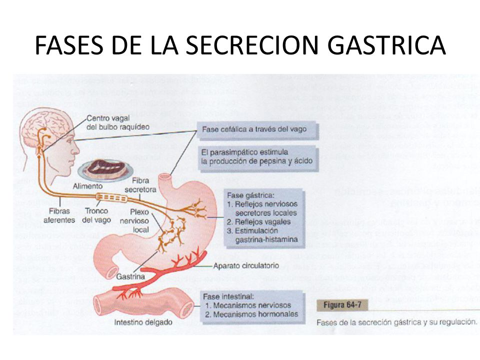FASES DE LA SECRECION GASTRICA