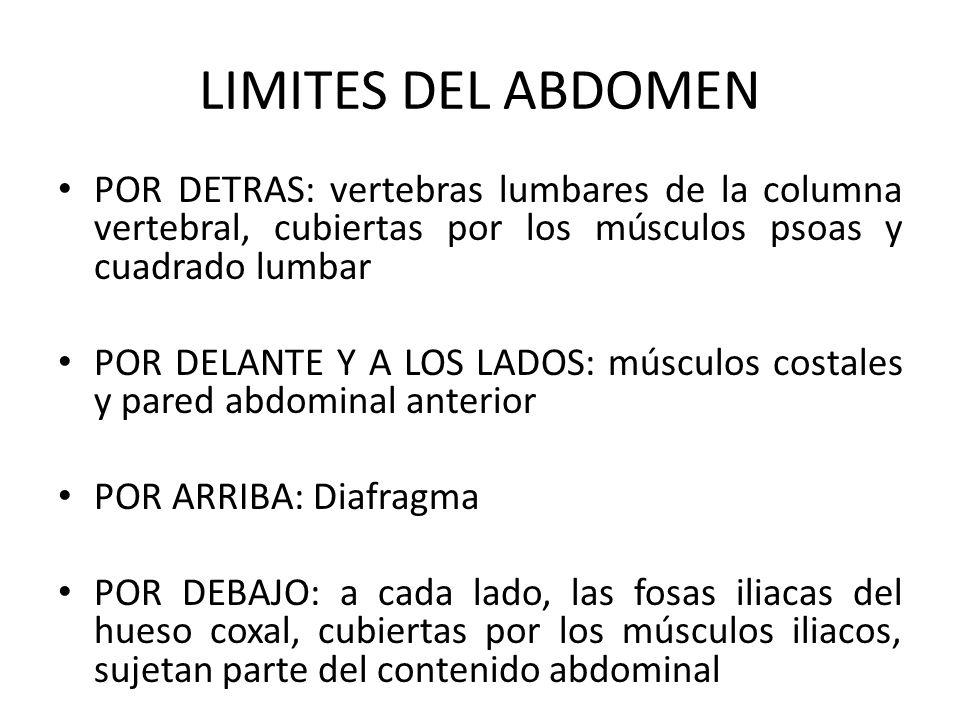 LIMITES DEL ABDOMEN POR DETRAS: vertebras lumbares de la columna vertebral, cubiertas por los músculos psoas y cuadrado lumbar.