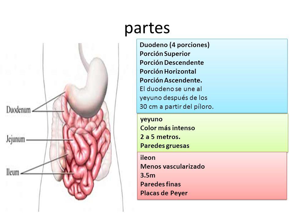 partes Duodeno (4 porciones) Porción Superior Porción Descendente