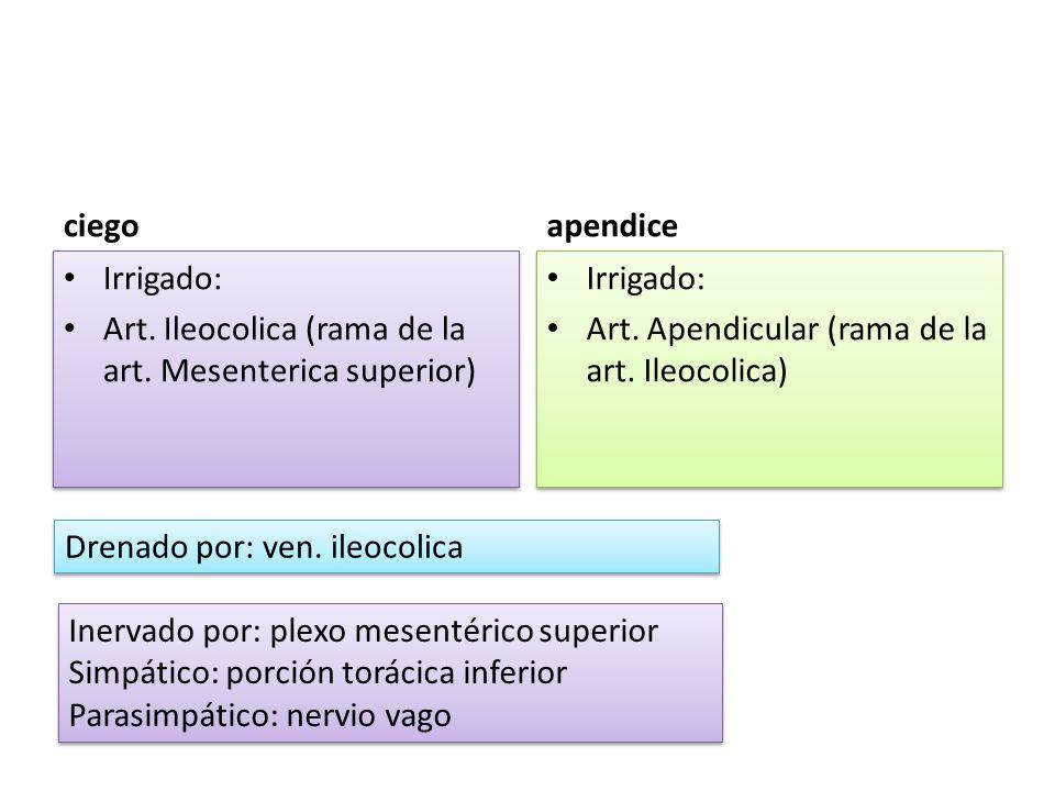 ciego apendice. Irrigado: Art. Ileocolica (rama de la art. Mesenterica superior) Irrigado: Art. Apendicular (rama de la art. Ileocolica)